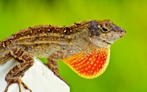 A male Brown Anole (Anolis sagrei)