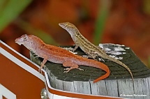 A male Brown Anole with an unusual  red colour.