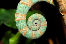 Tail of the Veiled Chameleon