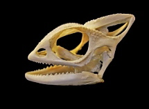 Skull of the Veiled Chameleon